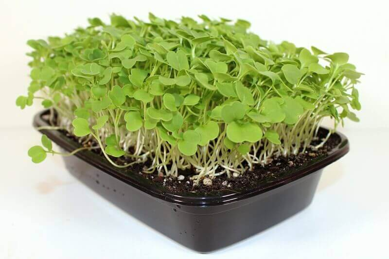 Arugula microgreens in Home Microgreens Tray
