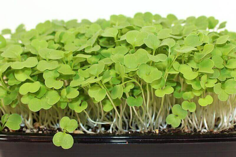 Arugula microgreens close up