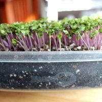 Purple Vienna Kohlrobi purple stemmed microgreen