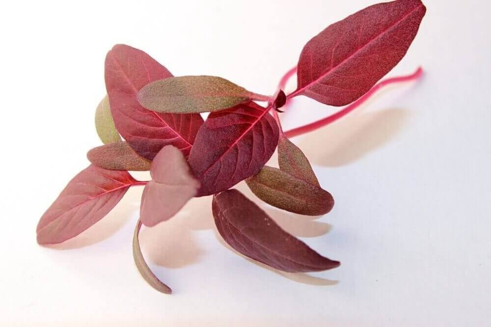 red garnet amaranth microgreens