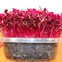 red garnet amaranth microgreen