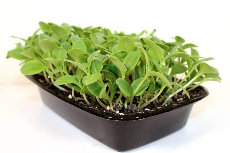 Borage microgreens