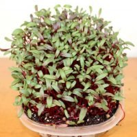 bull's blood beet microgreen kit
