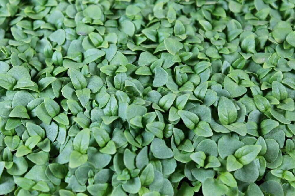 cinnamon basil microgreens for sale