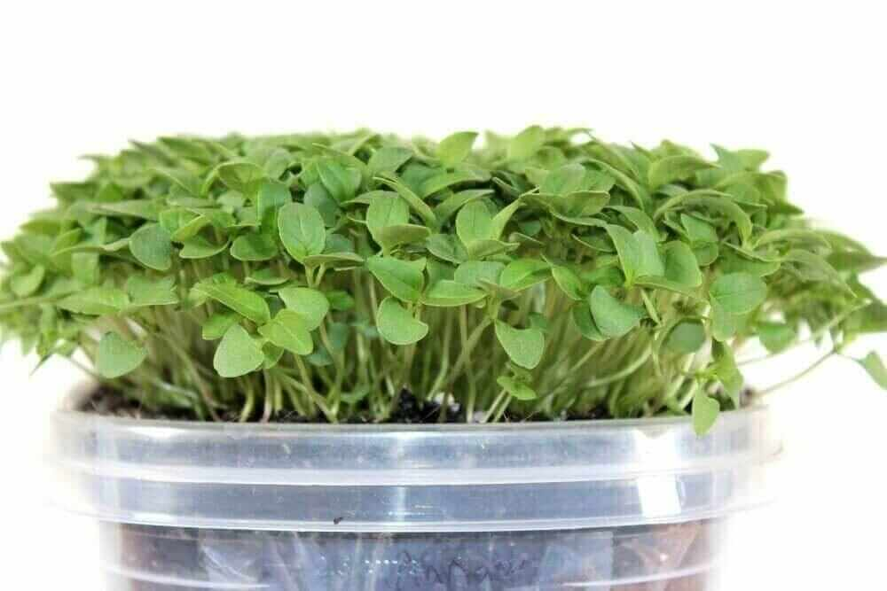 cinnamon basil microgreen seeds for sale