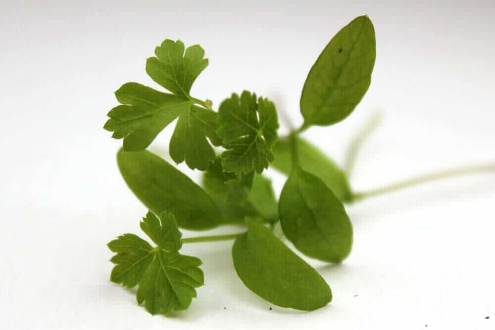 parsley microgreens