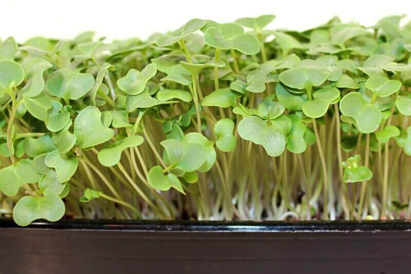 broccoli microgreen kit