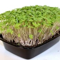 purple top turnip microgreen seeds