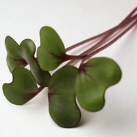 red acre cabbage microgreens close-up-2