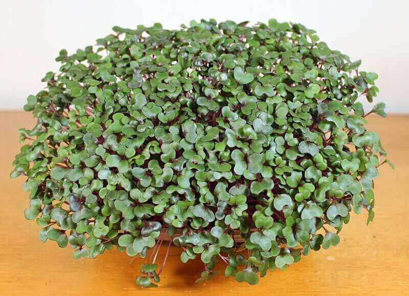red acre cabbage microgreen seeds