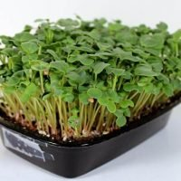 champion red radish microgreen seed
