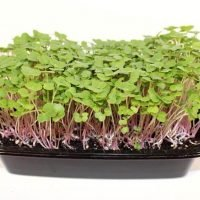 red russian kale-microgreen tray