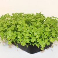 celery in a home microgreen tray