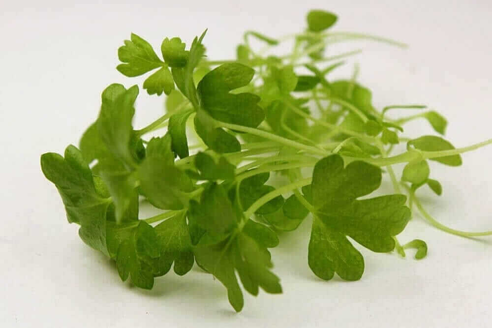 celery microgreen close-up
