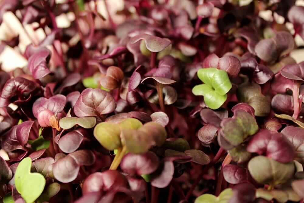 purple rambo radish microgreen leaves