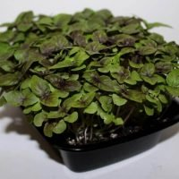 dark opal basil microgreens in a tray