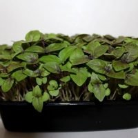 ready to harvest dark opal basil microgreens