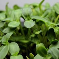 sunflower microgreen seeds