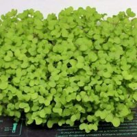 red giant mustard microgreen seeds