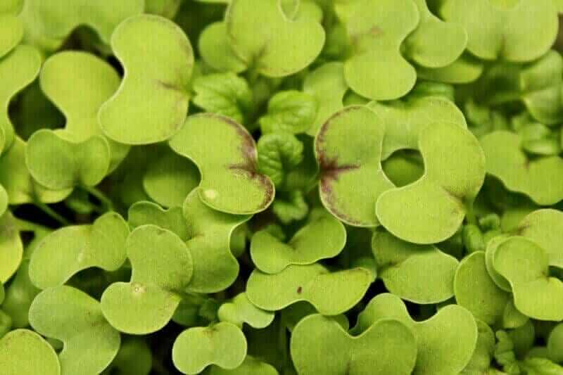 close up of red giant mustard microgreens