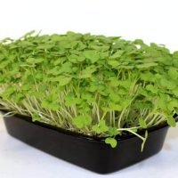red giant mustard microgreens