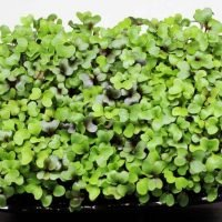 a tray of microgreen salad mix