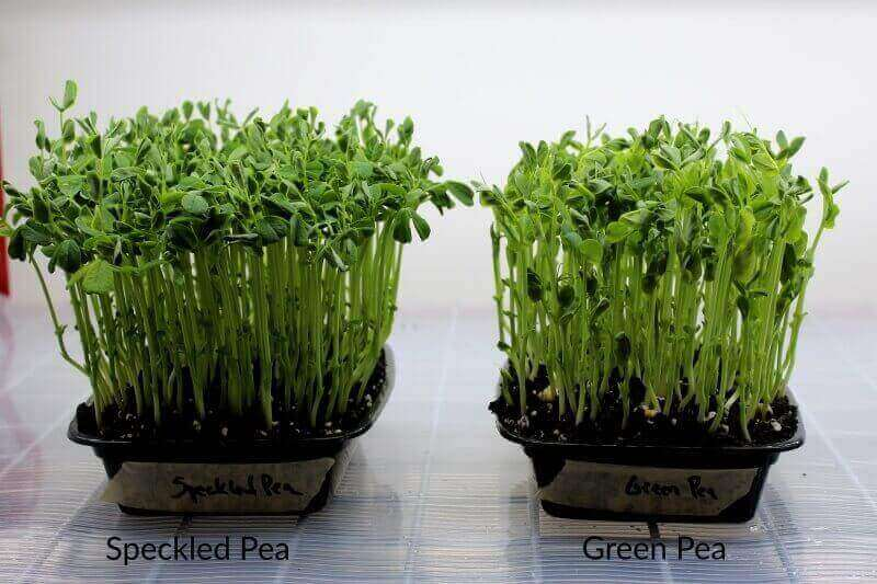 grown speckled and green pea shoots