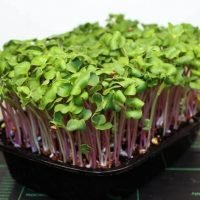 tray of triton radish microgreens