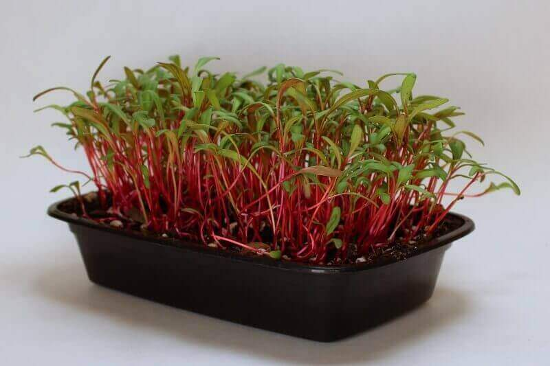 tray of ruby red microgreens