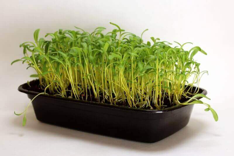 golden sunrise microgreens