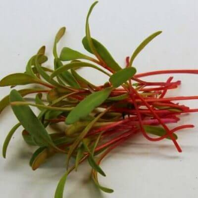 red swiss chard microgreens