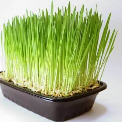 pet grass for cats and dogs