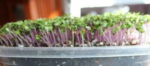 what are microgreen plants