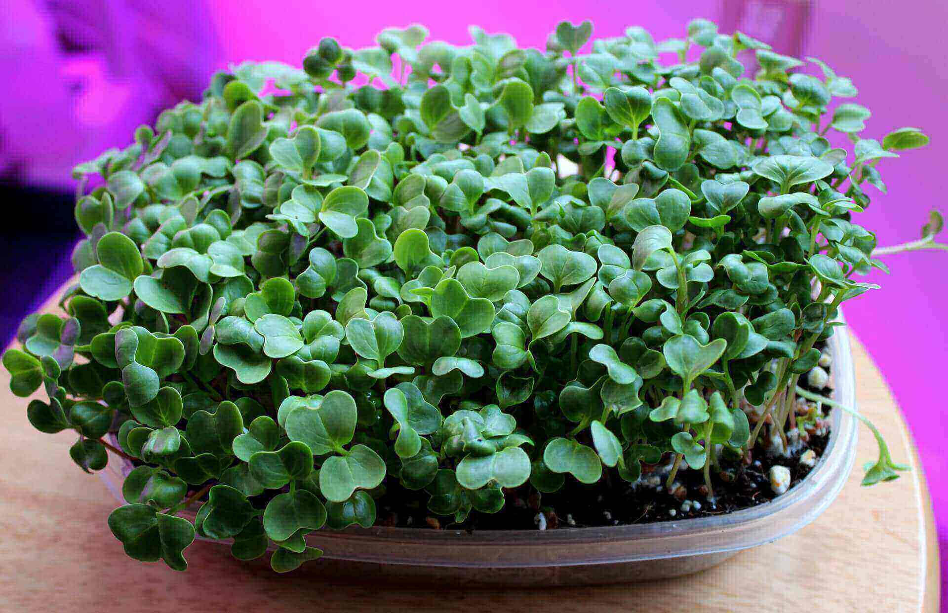 growing radish microgreens