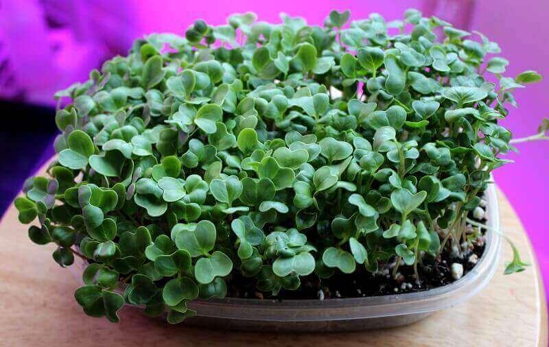 growing radish microgreens ready to harvest