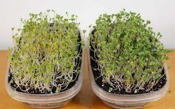 broccoli microgreen