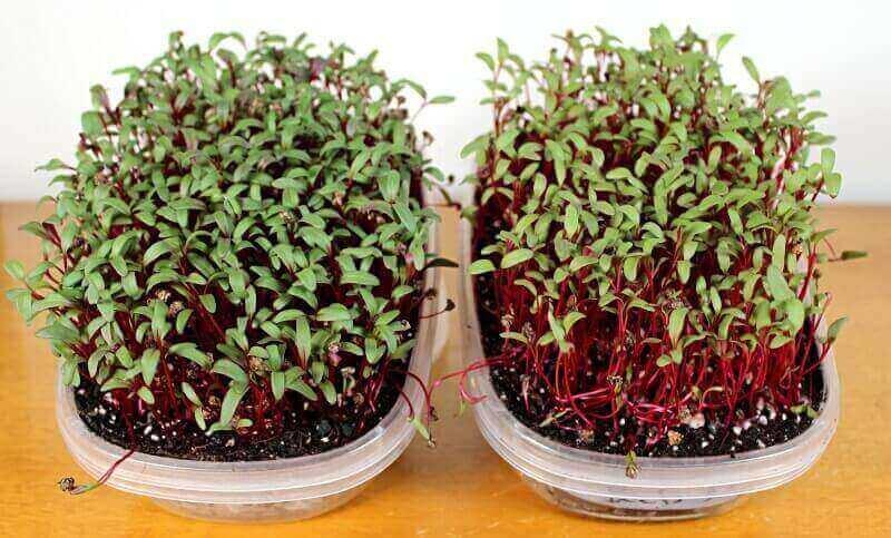 bull's blood beet microgreens