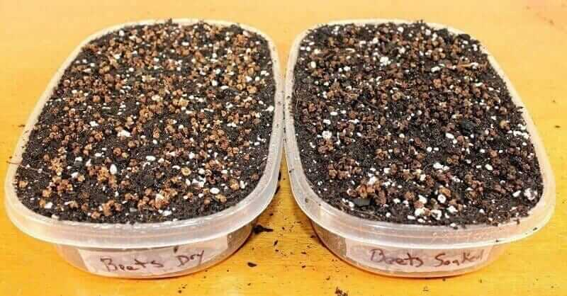 beet-microgreen-seeds-sown