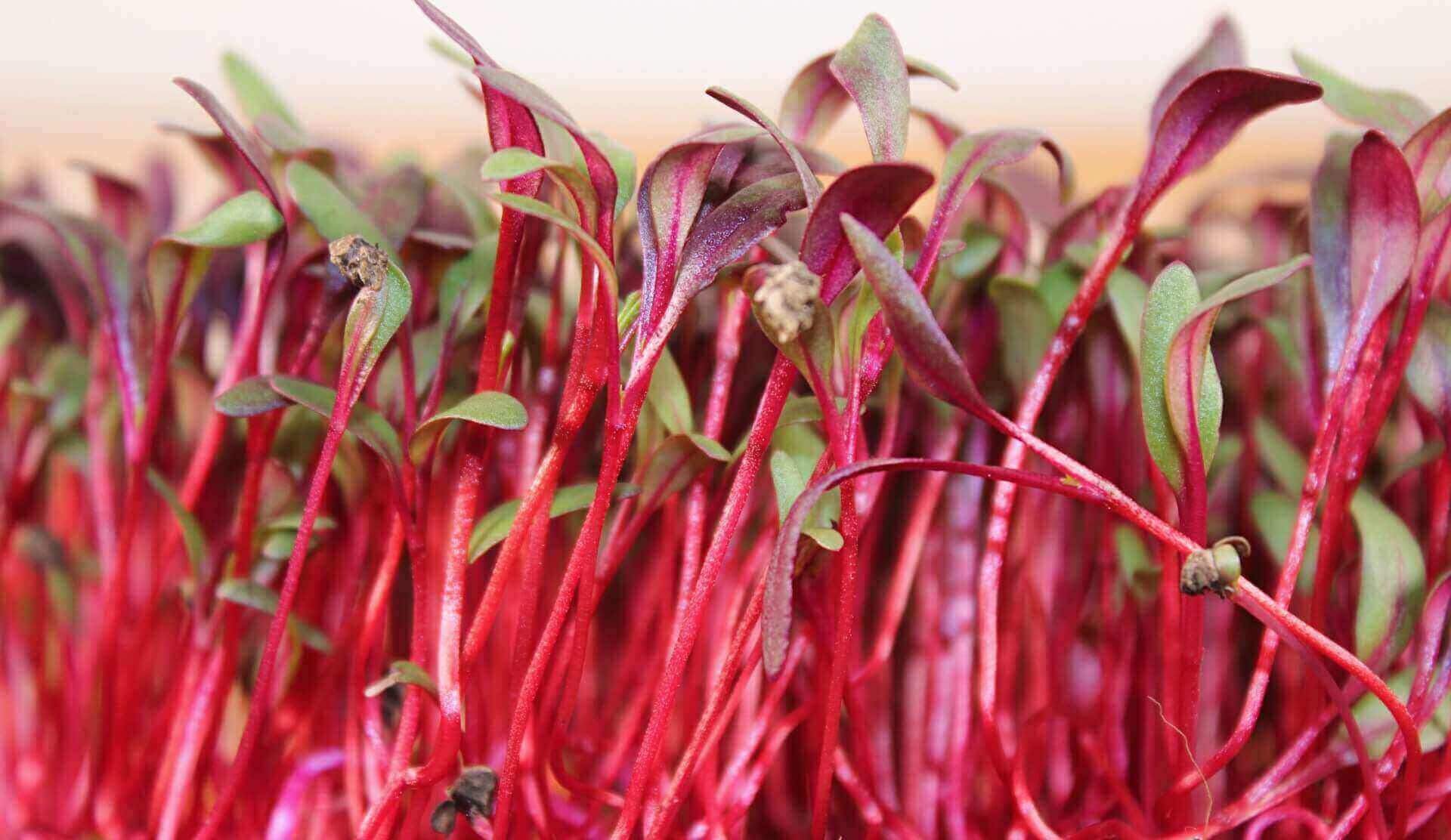 soaking beet microgreen seeds