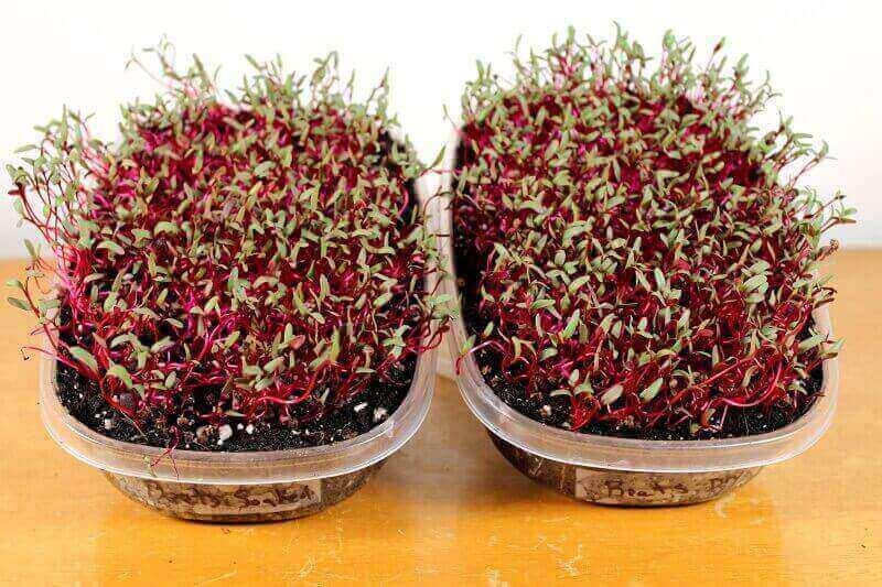 beet-microgreens-day 7