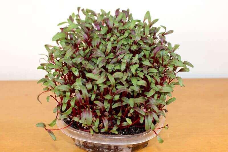 growing beet microgreen seeds