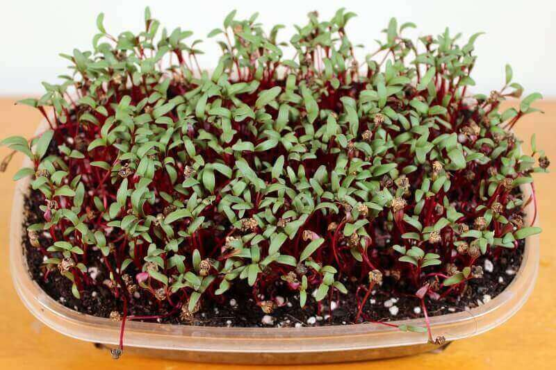 growing beet microgreen seeds