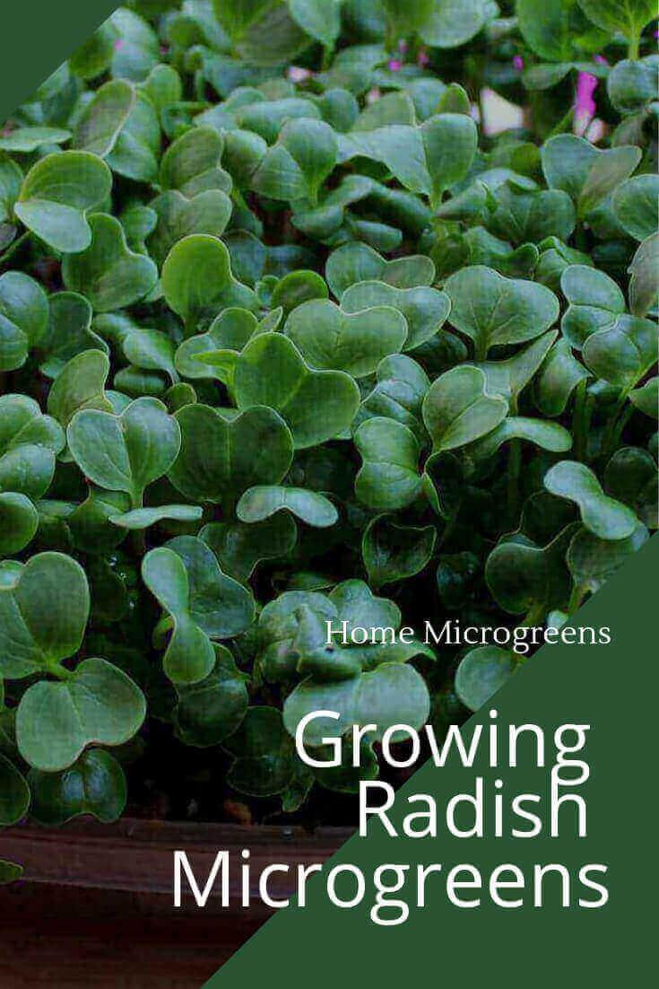 Growing radish microgreens