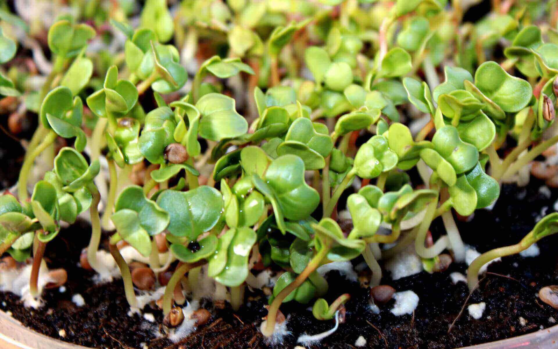 microgreen cotyledons