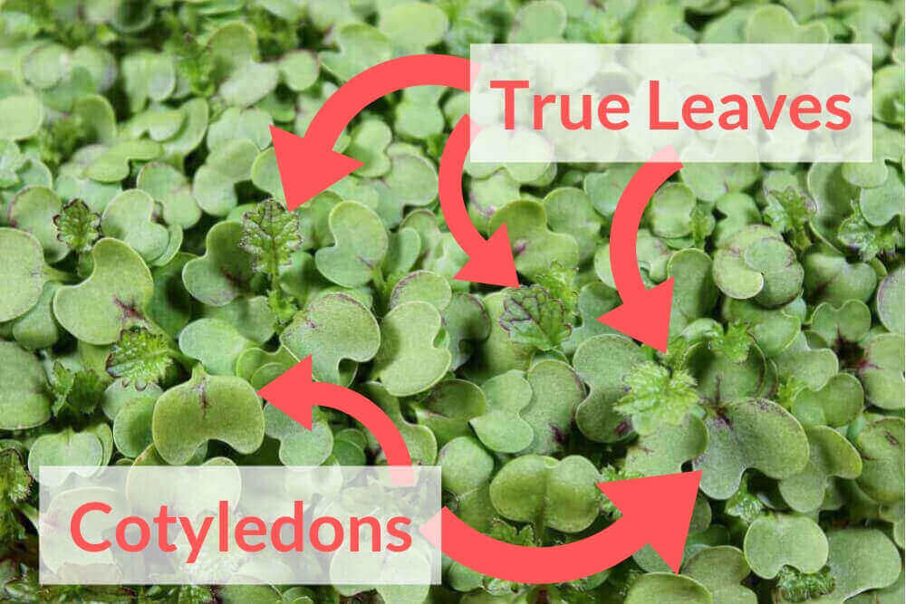 What are true leaves on this mustard microgreen