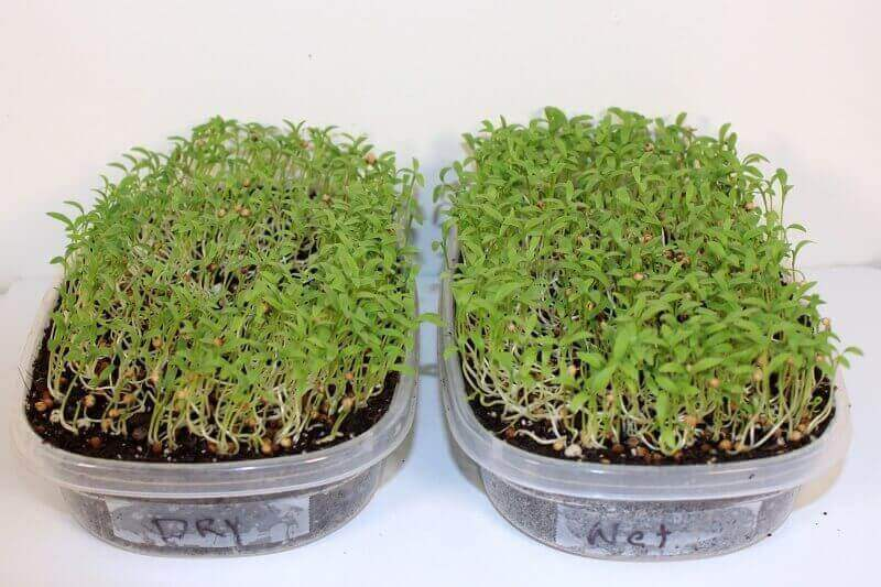 cilantro microgreens growing out.