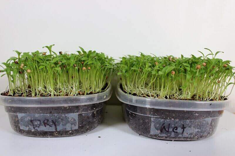 cilantro after 15 days growing