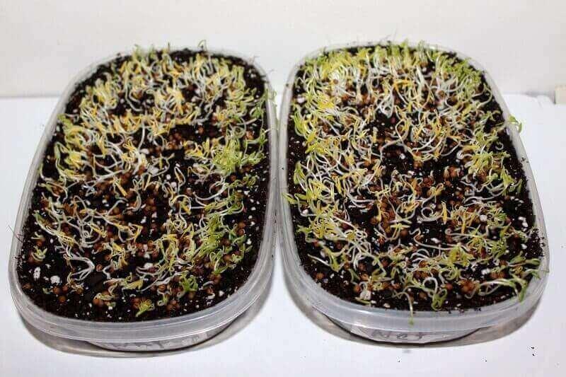 growing cilantro seeds