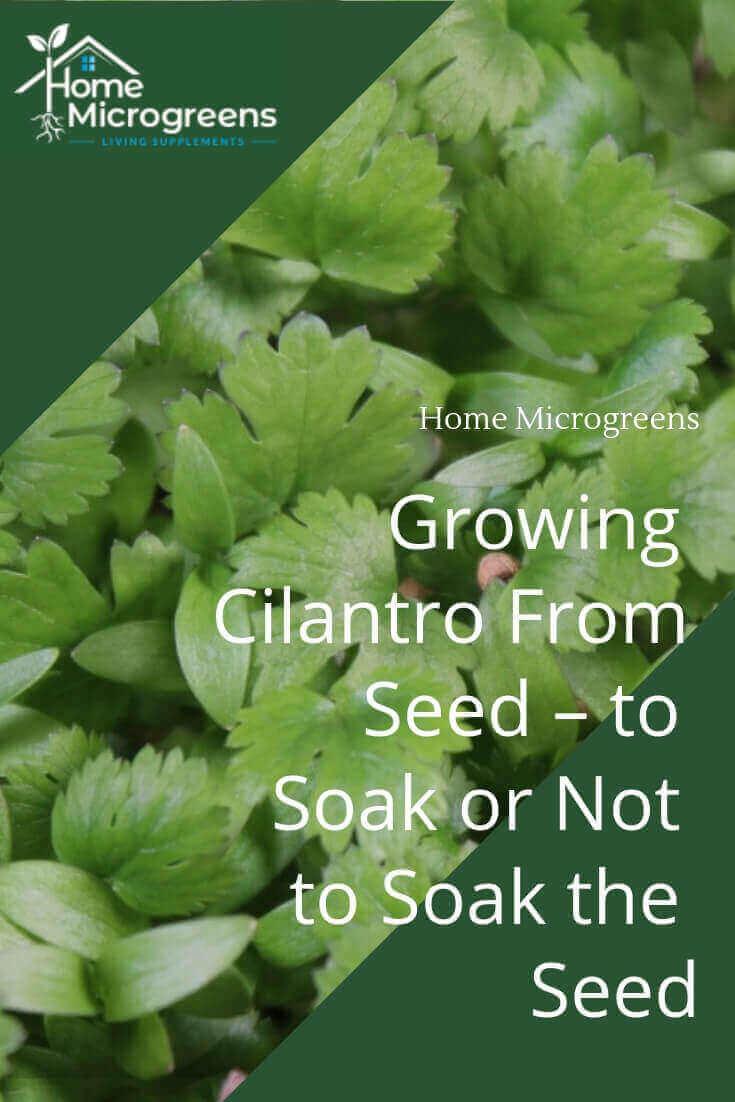 grow your own cilantro microgreens