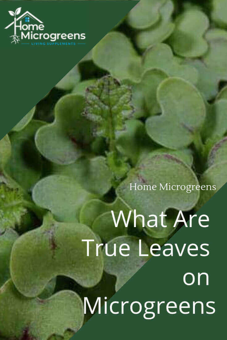 microgreen true leaves